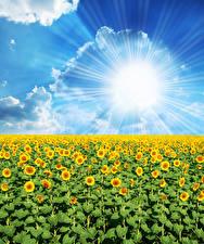 Bilder Felder Sonnenblumen Himmel Sonne Wolke Lichtstrahl Natur