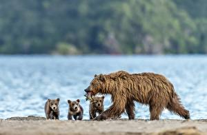 Bilder Ein Bär Fische - Lebensmittel Jungtiere Braunbär