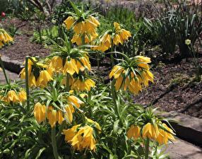 Bilder Schachblume Gelb Blumen