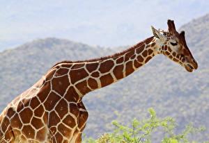 Hintergrundbilder Giraffe