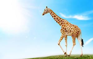 Bilder Giraffe ein Tier