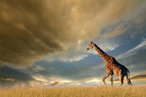 Bilder Giraffe Himmel