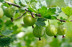 Wallpapers Gooseberry Closeup Branches Green Food