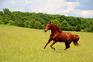 Pictures Meadow Horse Running Animals
