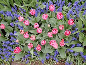 Bilder Hyazinthen Tulpen