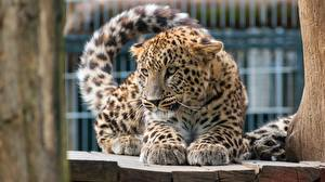 Wallpapers Leopards Staring Paws