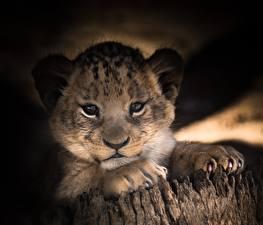 Hintergrundbilder Löwen Jungtiere Blick Pfote Schnauze