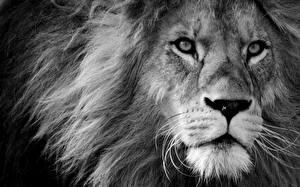 Bilder Löwe Starren Schnauze Schwarz weiß Tiere
