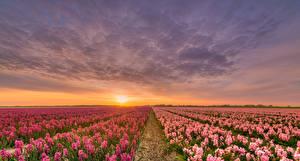 Bilder Niederlande Sonnenaufgänge und Sonnenuntergänge Felder Hyazinthen Himmel Natur Blumen