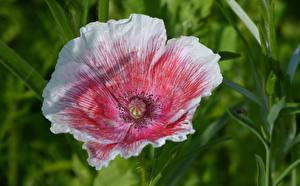 Fotos Mohn Großansicht Blumen