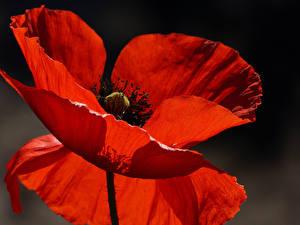 Fotos Mohnblumen Nahaufnahme Rot Blüte