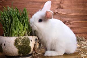 Картинки Кролики Белый Трава Животные