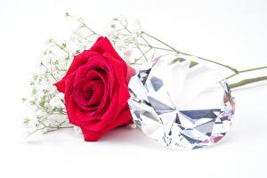 Hintergrundbilder Rose Nahaufnahme Brillant Weißer hintergrund Rot Blüte