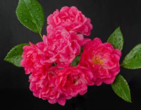Bilder Rosen Großansicht Grauer Hintergrund Rosa Farbe Tropfen Blumen