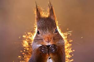 Bilder Hörnchen Großansicht Blick