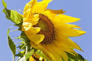 Bilder Sonnenblumen Großansicht Blumen