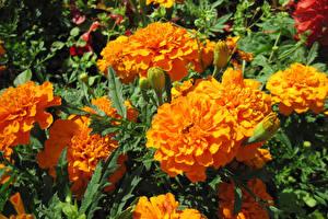 Wallpaper Tagetes Closeup Orange