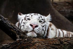 Bilder Tiger Große Katze Schnauze Weiß Blick
