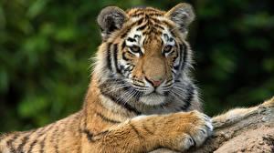 Hintergrundbilder Tiger Blick Pfote