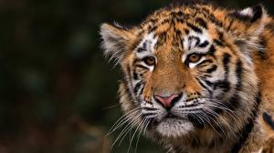 Bilder Tiger Starren Schnurrhaare Vibrisse Schnauze