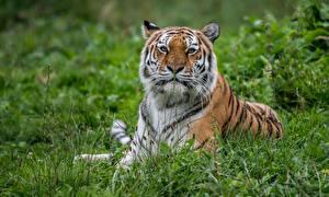 Fotos Tiger Gras Starren