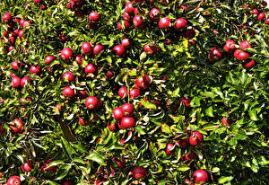 Pictures Apples Branches Red Leaf Food
