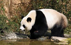 Images Bears Pandas Water