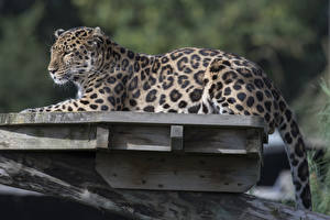 Pictures Big cats Leopards