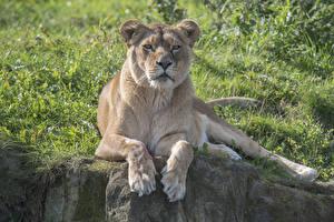 Bilder Große Katze Löwen Löwin Starren