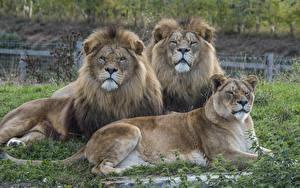 Fotos Große Katze Löwen Löwin Drei 3 Starren
