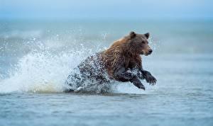 Hintergrundbilder Bären Braunbär Wasser Lauf Wasser spritzt