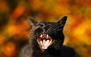 Bilder Katze Eckzahn Schwarz Blick Grinsen Zunge Tiere