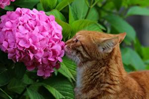 Fotos Katze Hortensien Ingwer farbe ein Tier