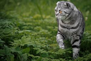 Fotos Hauskatze Schottische Faltohrkatze Gras Blick Tiere