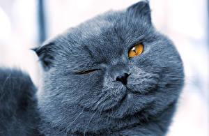 Bilder Katze Schnauze Grau Starren ein Tier