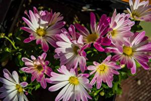Fotos Chrysanthemen Großansicht