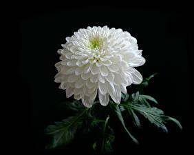 Hintergrundbilder Chrysanthemen Großansicht Schwarzer Hintergrund Weiß Blumen