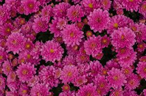 Bilder Chrysanthemen Großansicht Viel Rosa Farbe