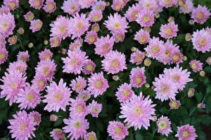 Bilder Chrysanthemen Viel Rosa Farbe