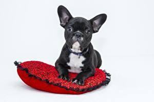Bilder Hunde Schwarz Bulldogge Grauer Hintergrund Starren