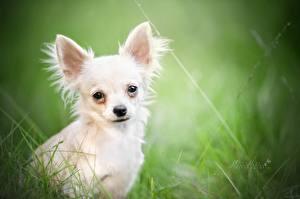 Fotos Hunde Chihuahua Blick Weiß