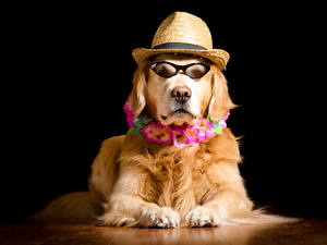 Fondos de escritorio Perros Golden retriever Fondo negro Anteojos Sombrero de Contacto visual animales