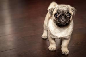 Fotos Hunde Mops (Hunderasse) Starren Tiere