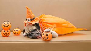 Fotos Hunde Kürbisse Feiertage Halloween Bulldogge Der Hut