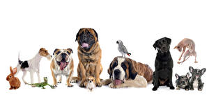 Pictures Dog Rabbit Parrot White background Chihuahua Bulldog Lizard Labrador Retriever Saint Bernard mastiff fox terrier Animals