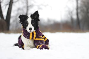 Fotos Hunde Winter Border Collie Schal Schnee
