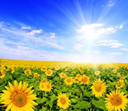 Hintergrundbilder Felder Sonnenblumen Viel Himmel Wolke Natur Blumen
