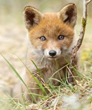 Hintergrundbilder Füchse Jungtiere Starren Tiere