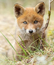 Wallpapers Foxes Cubs Staring Animals
