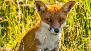 Bilder Füchse Blick Missfallen Schnauze ein Tier